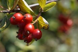 Hloh je známa rastlina, ktorá Vám pomôže s liečbou impotencie a erektilnej dysfunkcie.